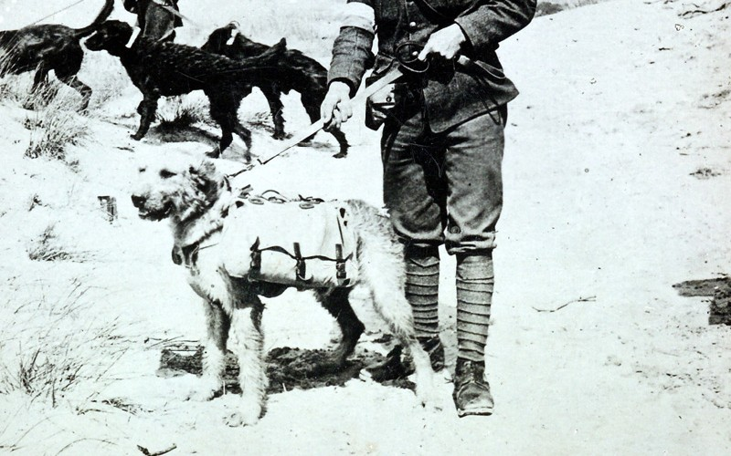 Dogs with first-aid and stimulants off to find wounded in inaccessible parts of no-man's land, c1915